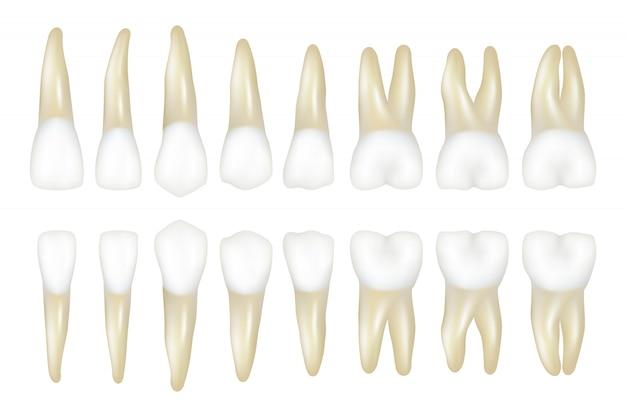 Tipo de diente. estomatología dentista médico ilustraciones realistas de dientes blancos