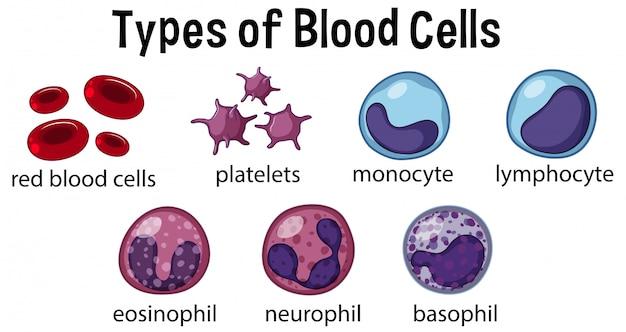 Tipos de células sanguíneas