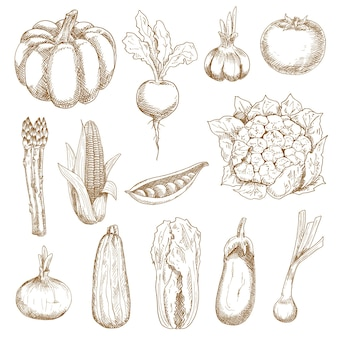 Tomate y maíz maduros, cebolla y ajo, berenjena y remolacha, calabaza y col china, calabacín y vaina de guisantes, coliflor y espárragos. bocetos en estilo vintage grabado