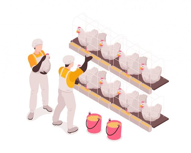 Trabajadores de producción de granjas avícolas en establos de pollos revisando y alimentando aves recolectando huevos composición isométrica