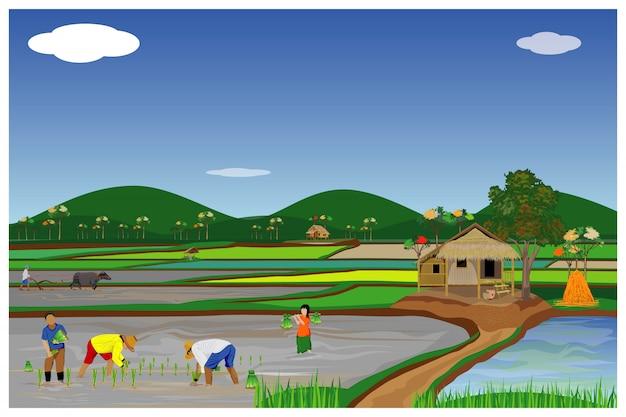 Trasplante de granjero siembra de arroz en el diseño de vector de campo de arroz