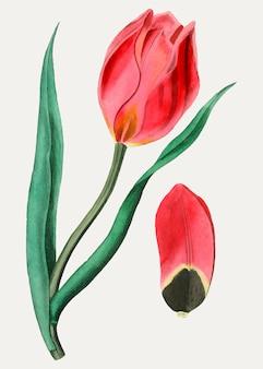 Tulipán ojo de sol