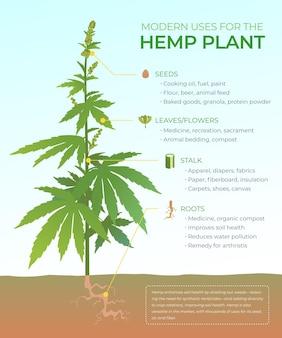 Usos de la infografía de cáñamo con planta ilustrada.