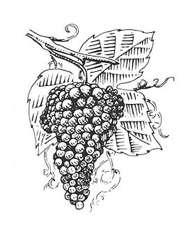 Uva con hojas para vino grabado ilustración en estilo vintage antiguo, dibujado a mano