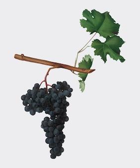 Uvas dolcetto de la ilustración de pomona italiana