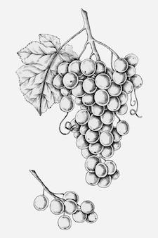 Uvas frescas dibujadas a mano