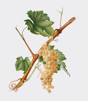 Uvas vermentino de la ilustración de pomona italiana.