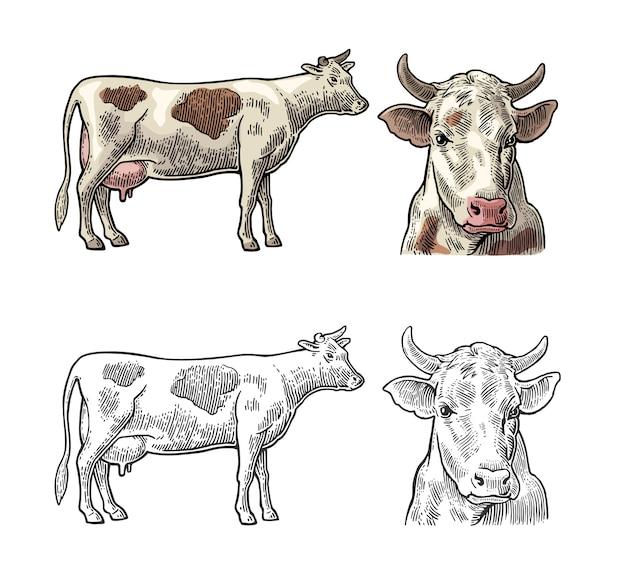 Vaca. vista lateral y frontal. grabado de la vendimia