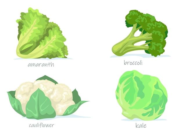 Variedad de colección de imágenes planas de repollo. dibujos animados de brócoli verde, col rizada, coliflor y amaranto ilustración aislada.