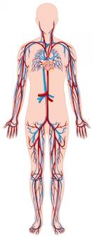 Vasos sanguíneos en el cuerpo humano