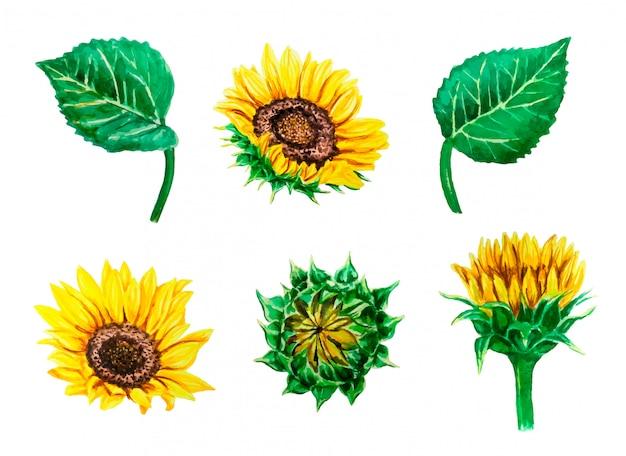 Vector de acuarela con coloridos girasoles y hojas, aisladas en blanco