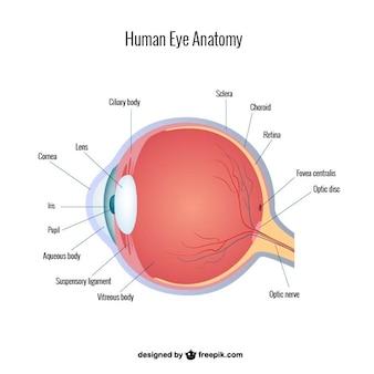 Vector anatomía del ojo