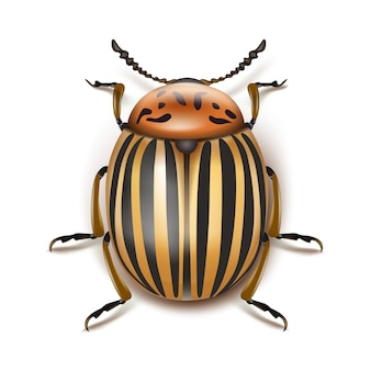 Vector escarabajo de la patata de colorado cerca vista superior aislada sobre fondo blanco