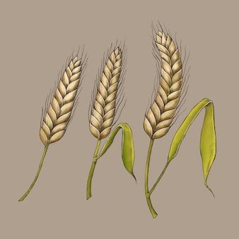 Vector de espigas de trigo orgánico crudo