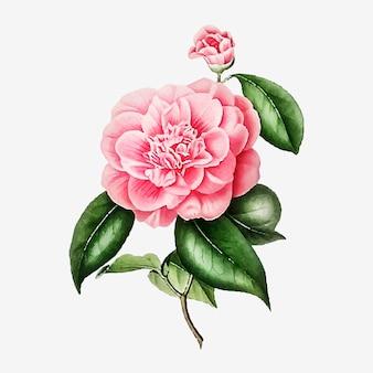 Vector de flor de rosa de camelia rosa