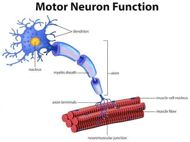 Un vector de la función de la neurona motora