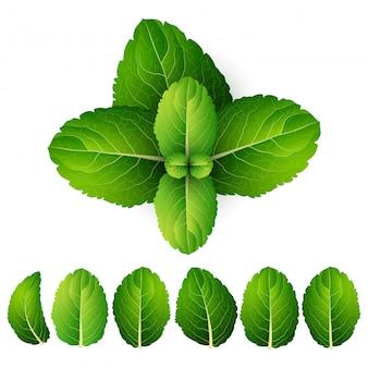 Vector hojas de menta fresca sobre un fondo blanco