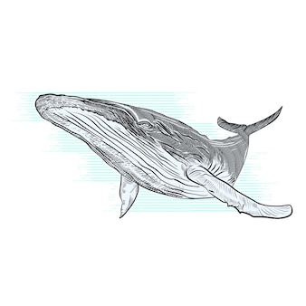 Vector ilustración dibujada a mano de ballena jorobada