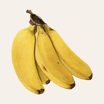 Vector de ilustración de plátanos vintage