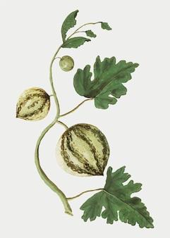 Vector de ilustración de sandía fresca vintage