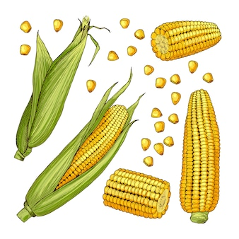 Vector ilustraciones de la granja. diferentes lados del maíz.