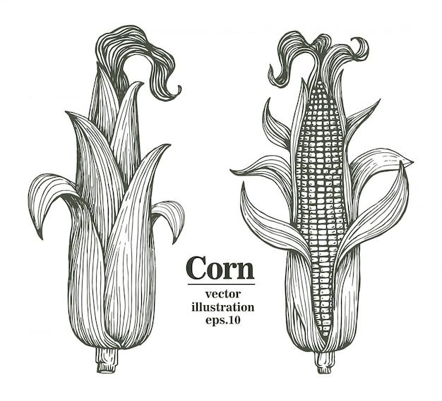 Vector el maíz en la mazorca con el ejemplo dibujado mano de las hojas.