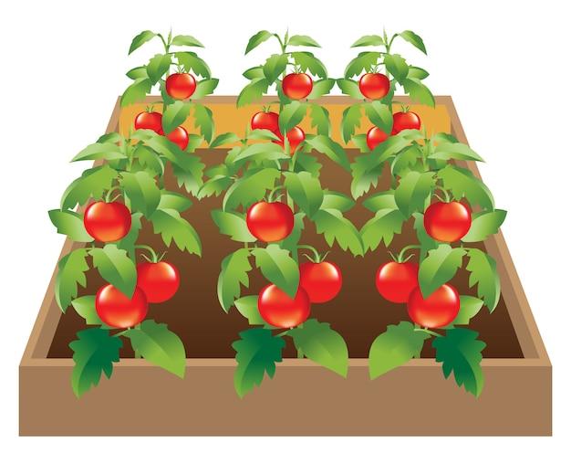 Vegetales_jardín_tomato