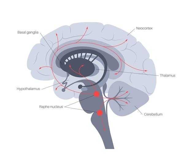 Vía de la serotonina en el cerebro humano. neurotransmisor monoamínico. modular el vector plano del estado de ánimo.