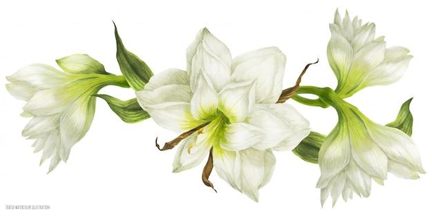 Viñeta de guirnalda de boda con flores blancas de hippeastrum