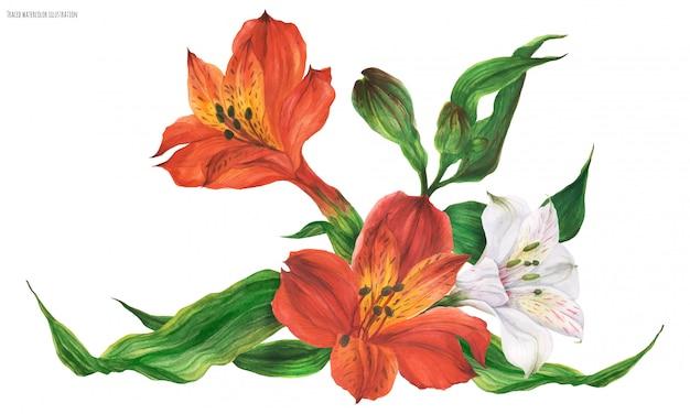 Viñeta de guirnalda con flores de lirio peruano rojo y blanco