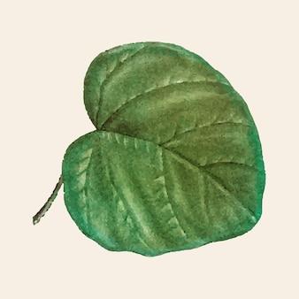 Vintage catalpa cordifolia hoja vector dibujado a mano botánico
