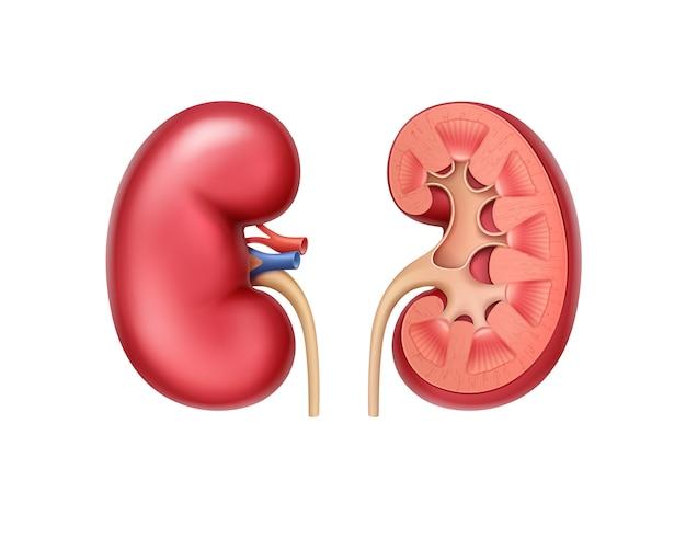 Vista frontal de riñones humanos enteros y la mitad sanos rojos realistas