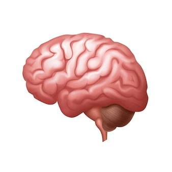 Vista lateral del cerebro humano rosa cerrar aislado sobre fondo blanco.