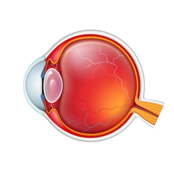Vista lateral de la sección transversal del ojo humano cerrar aislado sobre fondo blanco.