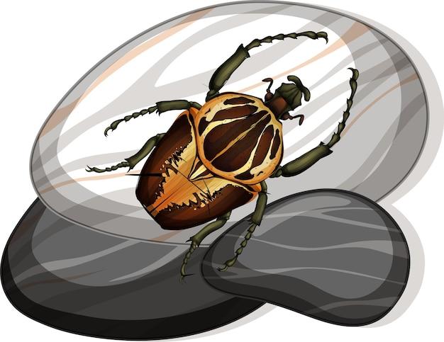 Vista superior del escarabajo goliat en una piedra en blanco