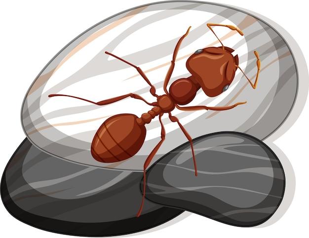 Vista superior de la hormiga roja sobre una piedra sobre fondo blanco.
