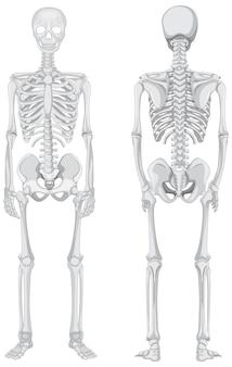 Vistas frontal y posterior del esqueleto aislado sobre fondo blanco.