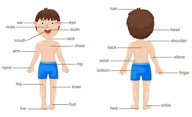 Vocabulario parte del cuerpo vectorial