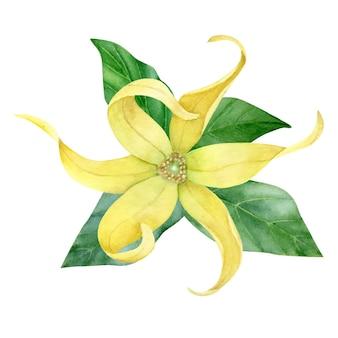 Ylang. hojas pintadas a mano y flores de ylang aisladas sobre fondo blanco.