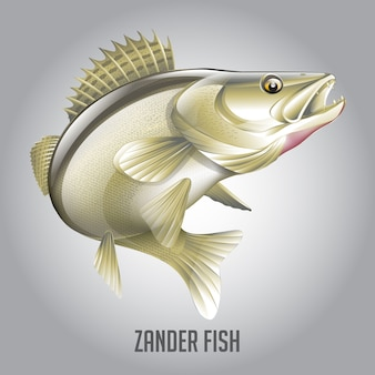 Zander fish vector illustration