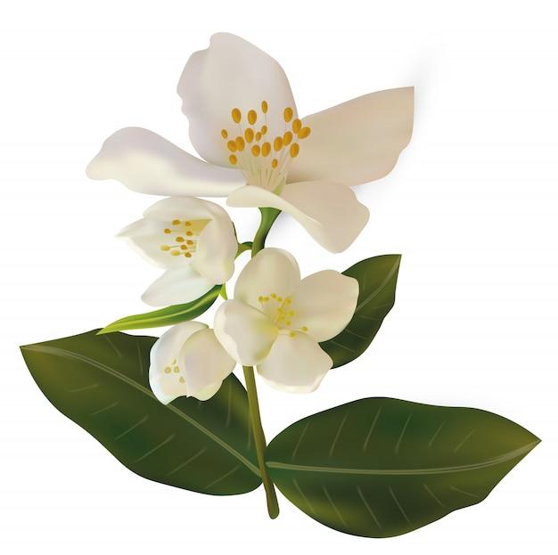 3d realistischer weißer jasmin