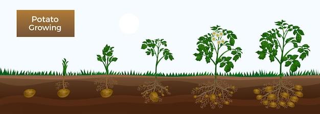Abbildung der phasen des kartoffelanbaus