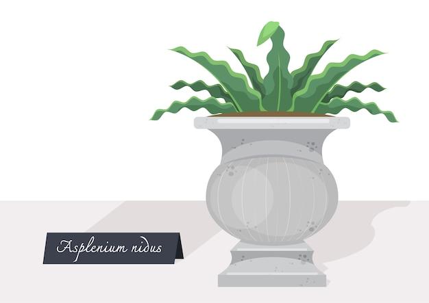 Abbildung einer isolierten asplenium nidus-pflanze mit einer auf dem tisch eingetopften pflanze mit zeichen