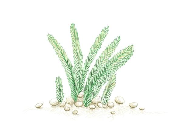 Abbildung handgezeichnete skizze von crassula muscosa watch chain eidechsen schwanz oder reißverschluss pflanze a su