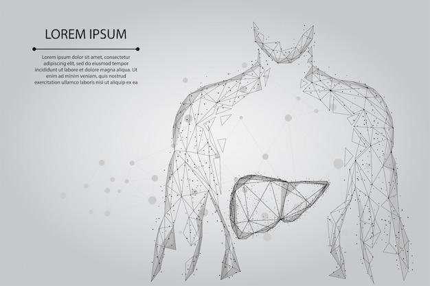 Abstrakte linie und menschlicher körper des punktes mit der leber. gesundheitswesen, wissenschaft und technologie