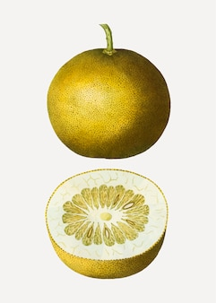 Adamsapfel zitrusfrucht
