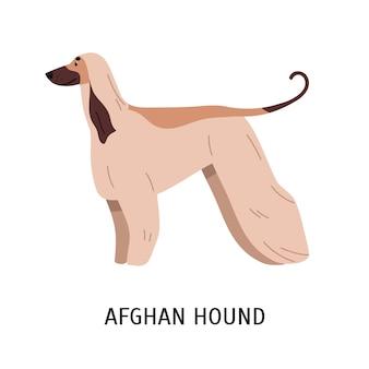 Afghanischer windhund oder tazi. wunderschöner jagdhund mit langen haaren, seitenansicht. atemberaubendes süßes reinrassiges haustier isoliert auf weißem hintergrund. bunte vektorillustration im flachen cartoon-stil.