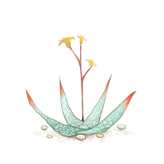 Aloe buhrii oder gefleckte aloe mit gelben blüten eine sukkulente mit scharfen dornen für gartendeko