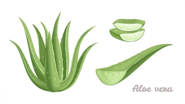 Aloe vera cartoon-set.