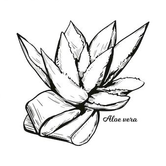 Aloe vera isolierte heilkraut hand gezeichnet. saftige pflanzenarten der aloe, immergrüne staude. geschnittene und ganze pflanzenblätter mit innerem gel, das in der kosmetik und medizin verwendet wird.